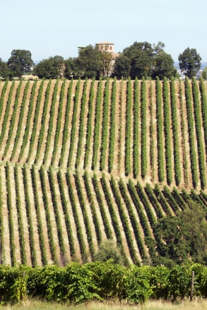 Lambrusco Vineyard In Castelvetro di Modena. Italy